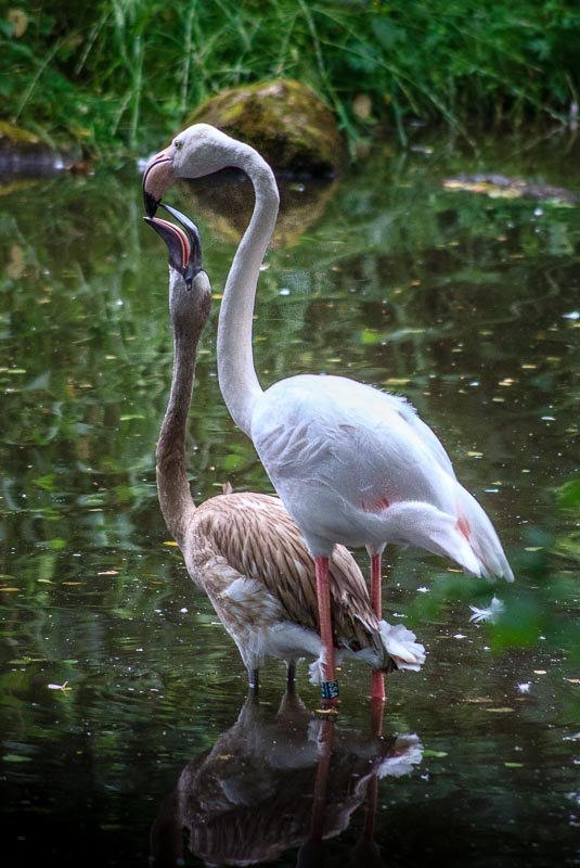 Time for some food for the flamingo baby.